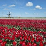 tulip fields tour 2020