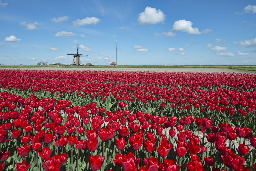 Netherlands tulip fields 2020 tour